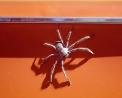 Huntsman Spider on orange Dyane